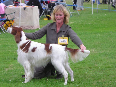 Grace - Courtdown Irish Red & White Setters