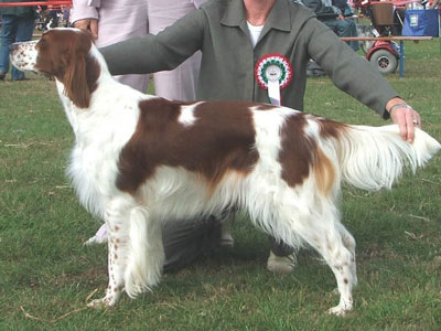 Lily - Courtdown Irish Red & White Setters