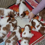First meal - puppy bix and milk (2)