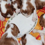 First meal - puppy bix and milk (5)